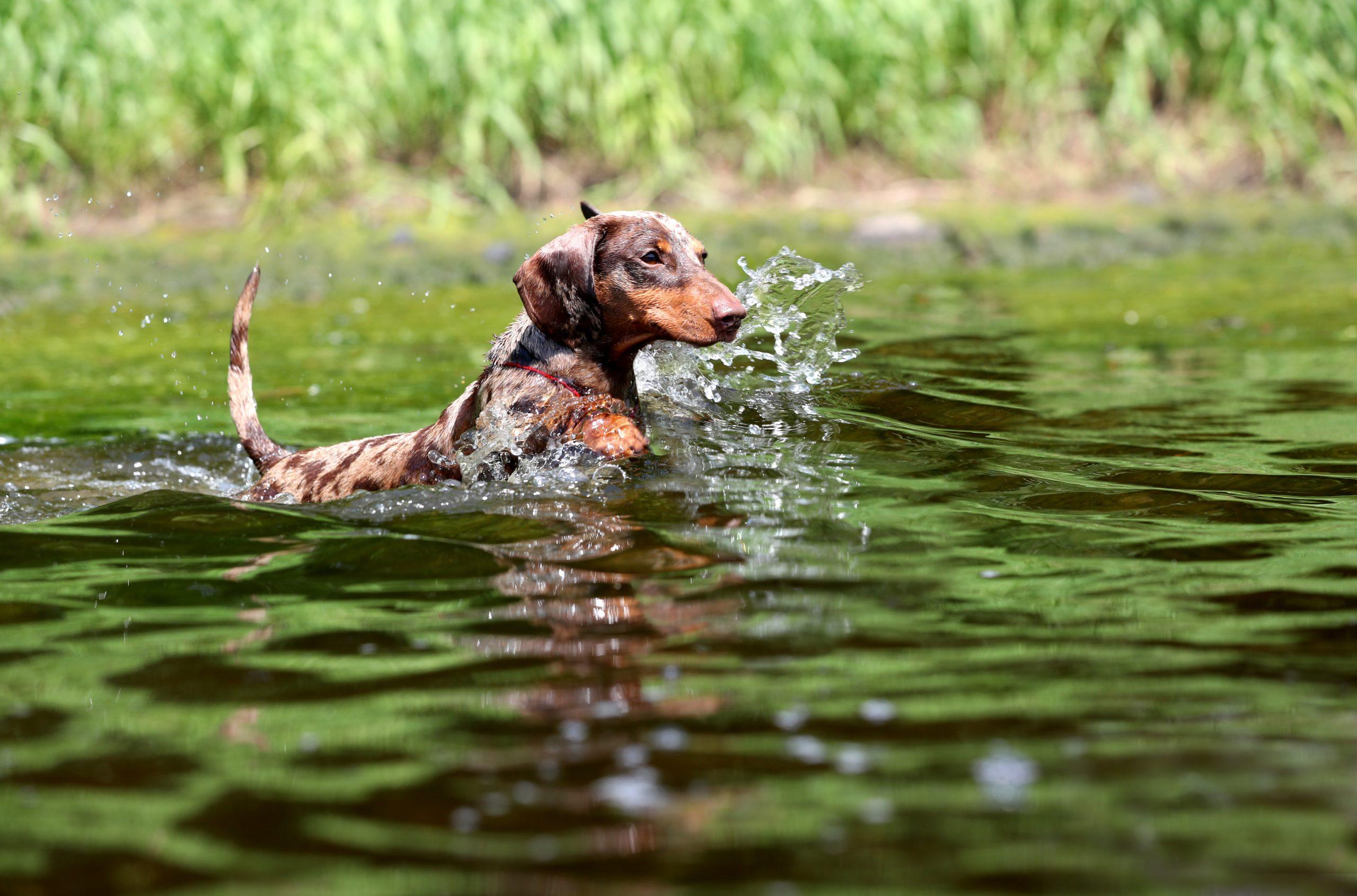 zwemmen teckel